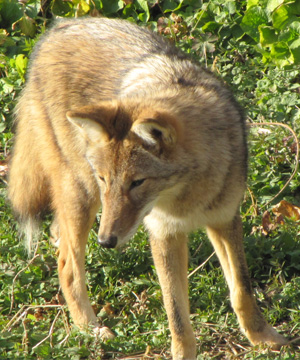 Identifying Characteristics: Pointed ears, a bushy tail, and a long slender snout