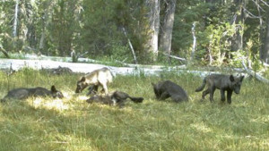 la-ln-california-wolf-pack-08132015-001