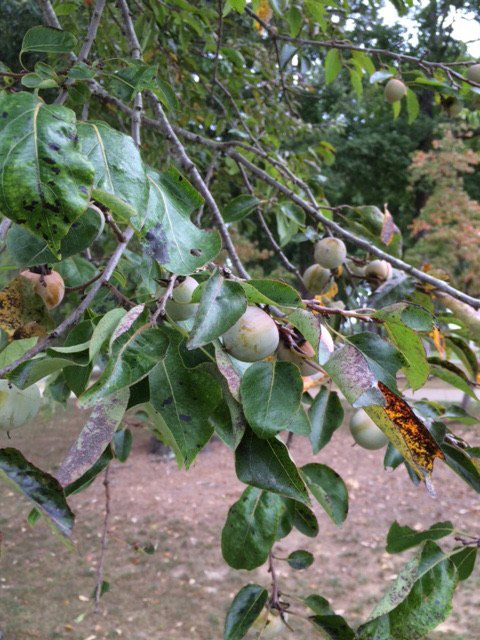 Persimmons on Tree